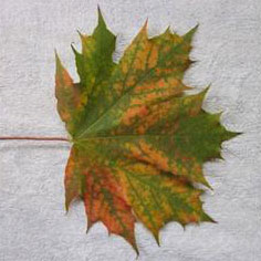 Autumn Norway Maple Leaf #2 Mandala