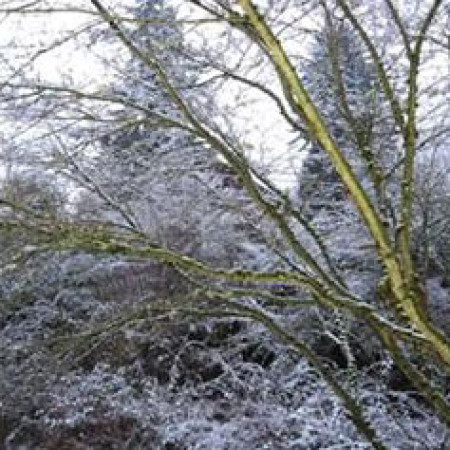 maple-branches-in-snow