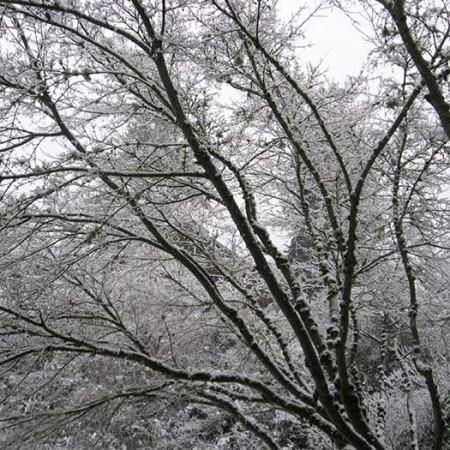 Snow-Branches_Maple