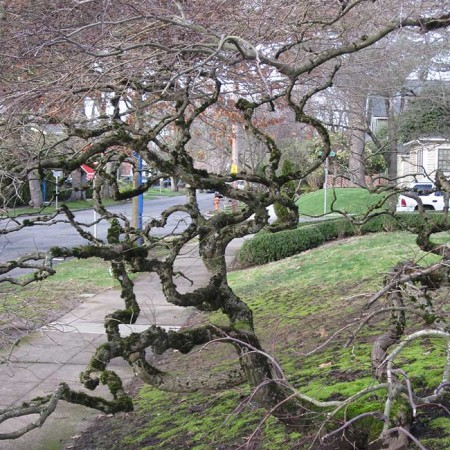 Japanese-Maple-Branches